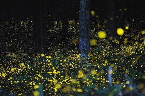 Gold Fireflies4